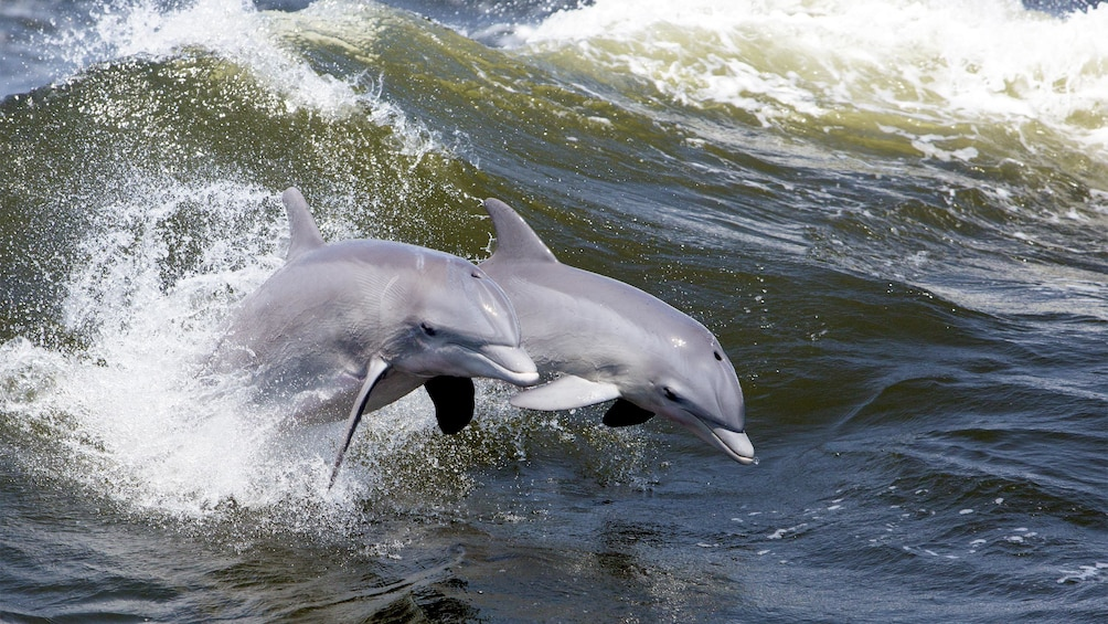 Show item 5 of 5. Dolphins on the Ocean Dolphin Cruise in Hilton Head, SC