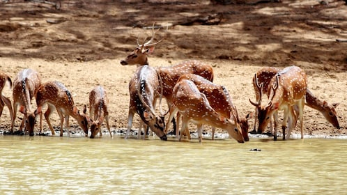 Deer drinking from a river at Yala National Park in Sri Lanka