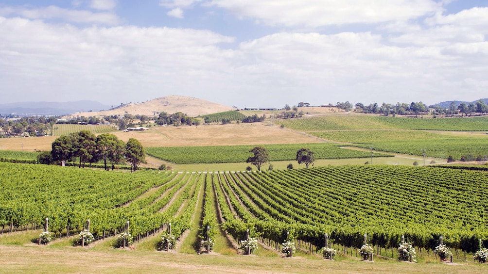Vineyard in Melbourne