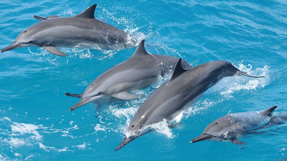 Show item 1 of 4. Group of dolphins in Guam