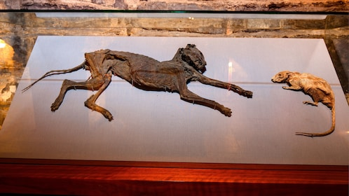 Mummified cat and rat in an Irish Cathedral