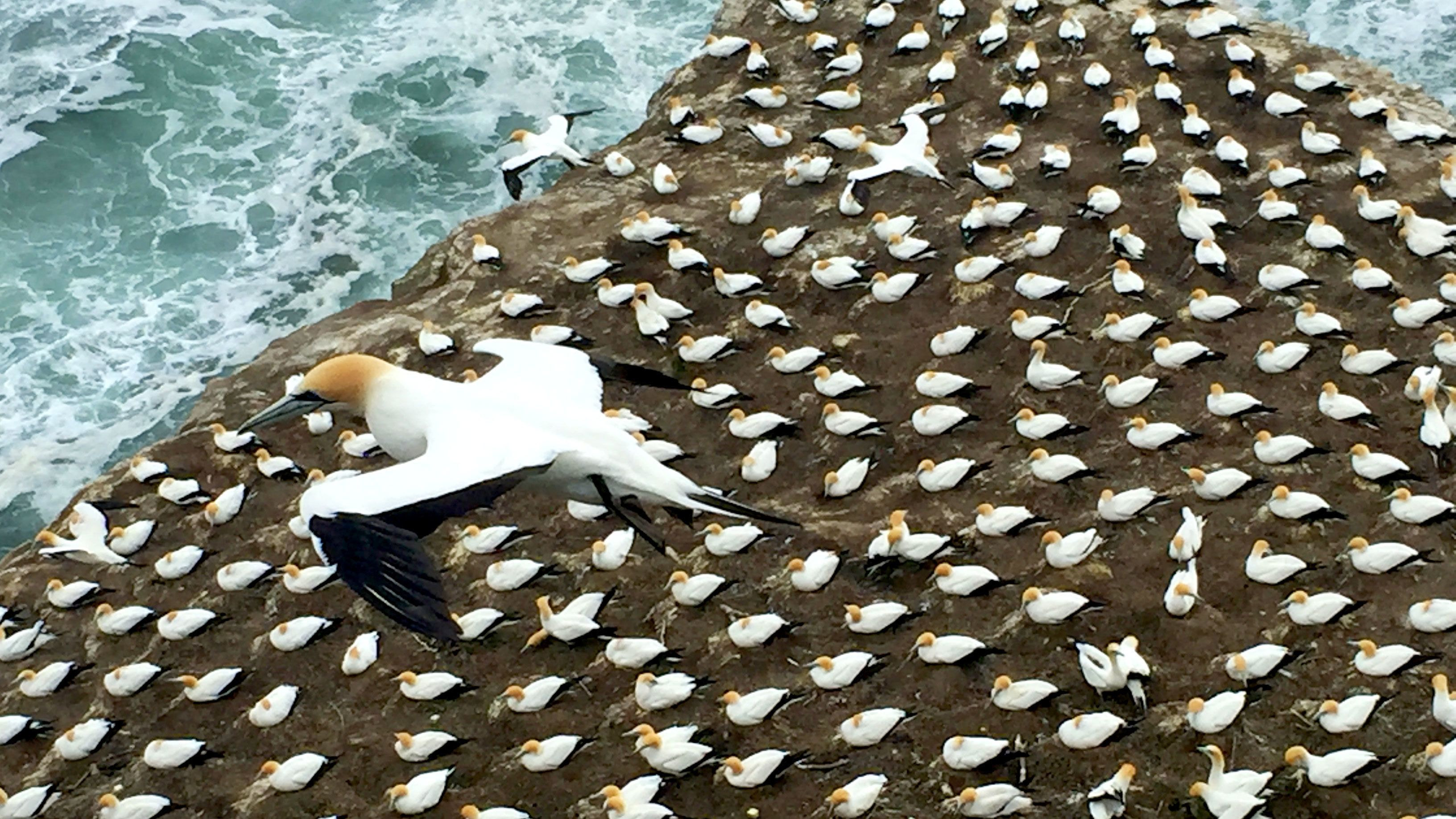 Ariel view of birds nesting on rocks in Auckland