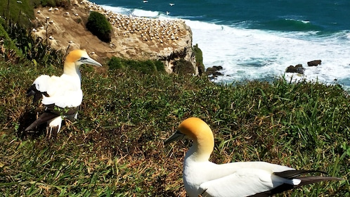 Marine birds on grassy knoll along coast in Auckland
