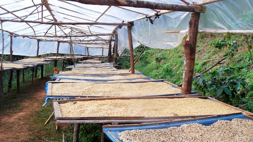 Beans and grains drying on tables in Chiang Mai