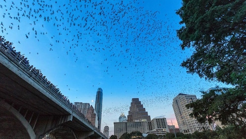 View of bats flying into evening sky in Austin