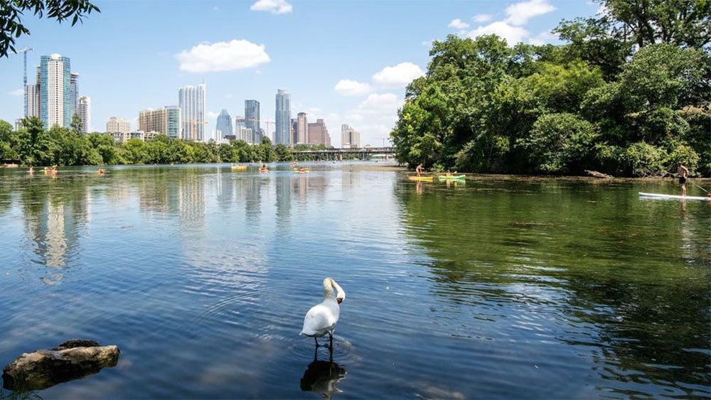Swan in a river with paddle boarder nearby in Austin