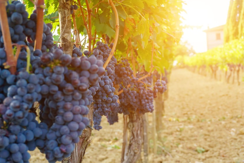 Charger l'élément 8 sur 8. Half Day Discovery Roman Vineyard & Wine Tastings