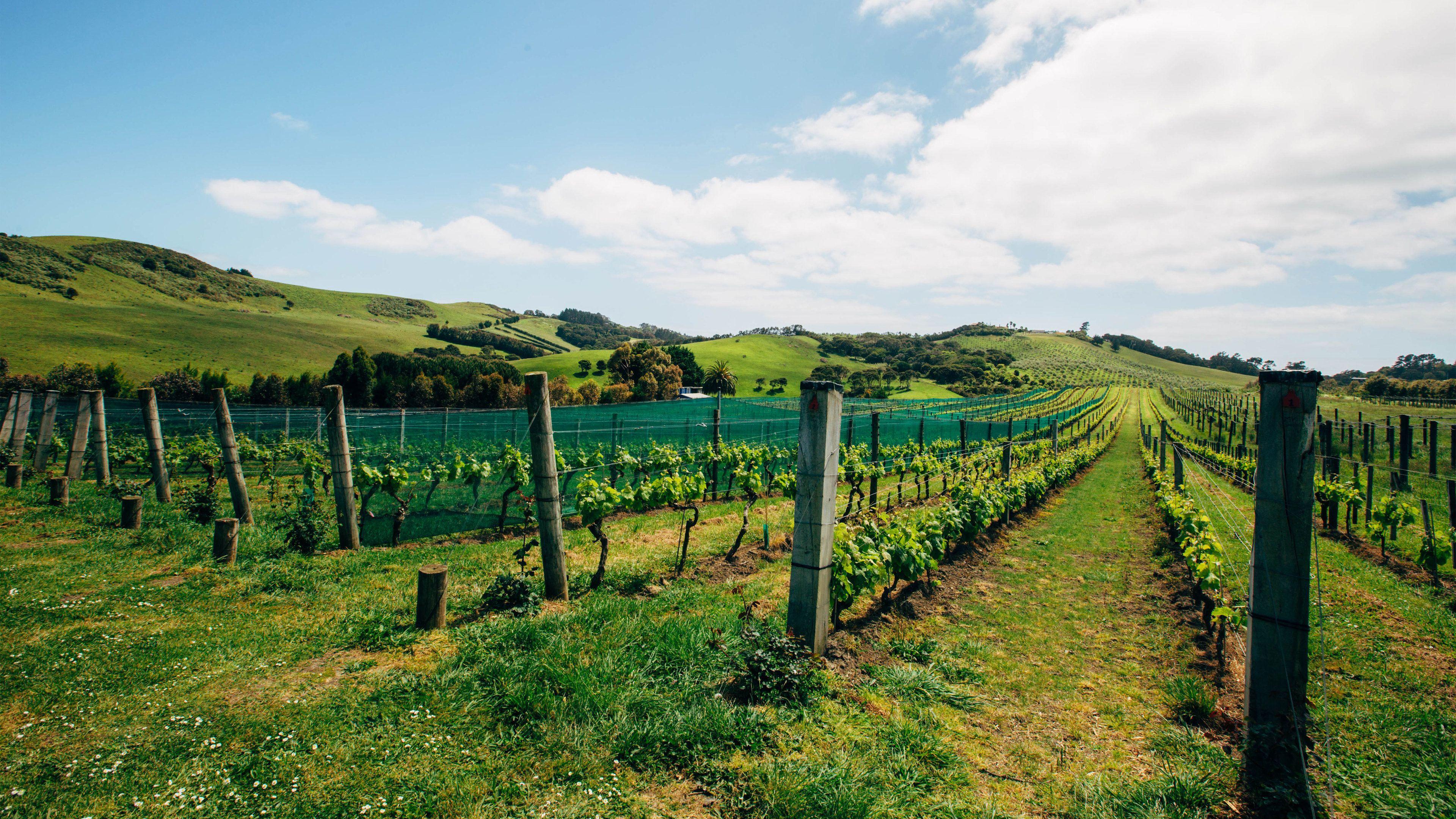 Vineyard in Auckland