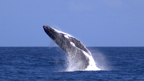 Whale breaching from water during tour in Tangalooma