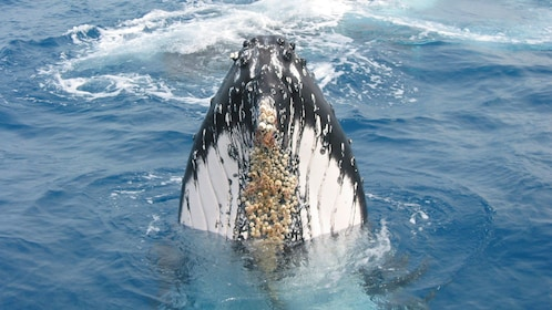 Nose of humpback whale during whale watching in Tangalooma
