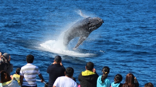 Whale breaching near boat during tour in Tangalooma