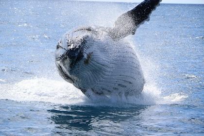 Breaching whale in Fraser Island