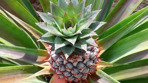 Pineapple on the Spice Tour in Zanzibar