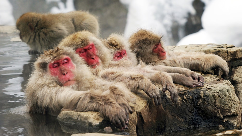 Show item 1 of 5. Snow monkeys lounging in hot springs at the Snow Monkey Resorts in Koshinetsu