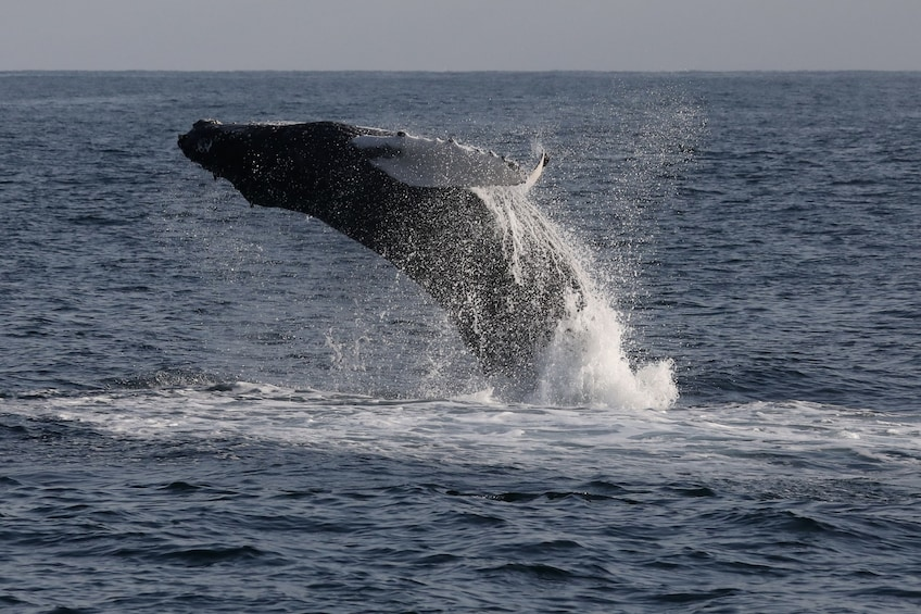 Show item 3 of 10. A Humpback whale jumping out of the water
