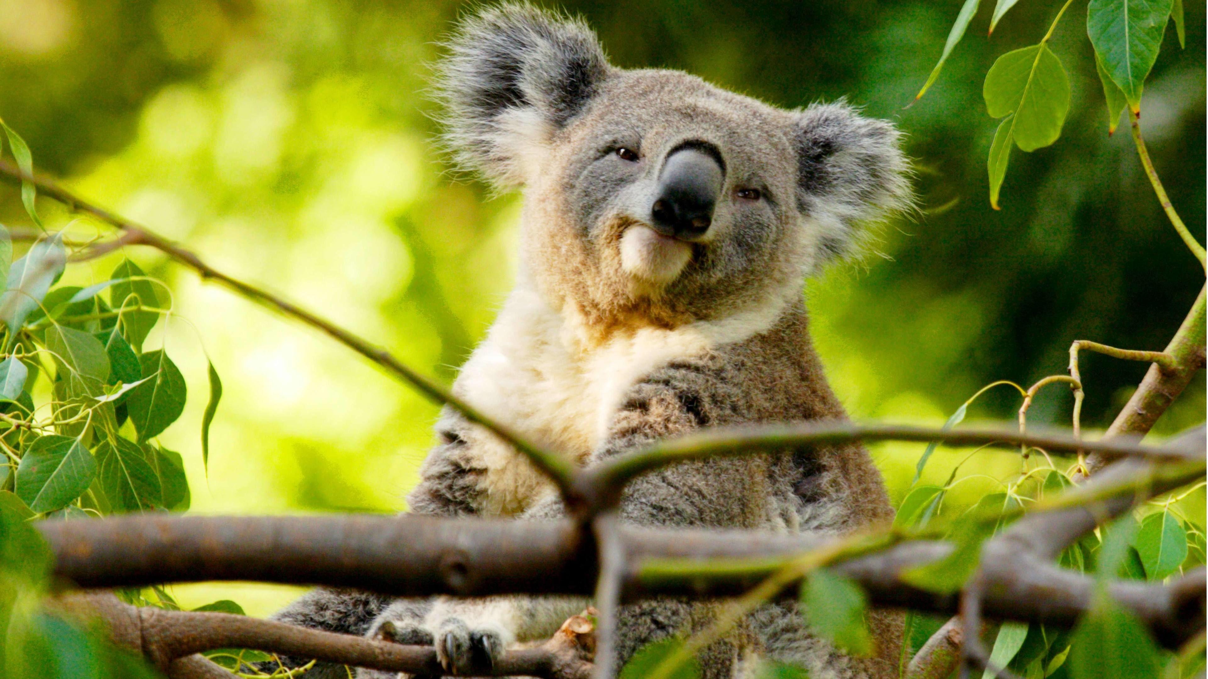 A koala bear in a tree on Kangaroo Island