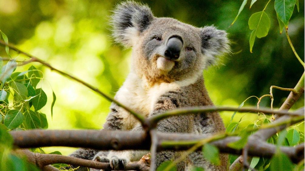 Show item 3 of 6. A koala bear in a tree on Kangaroo Island