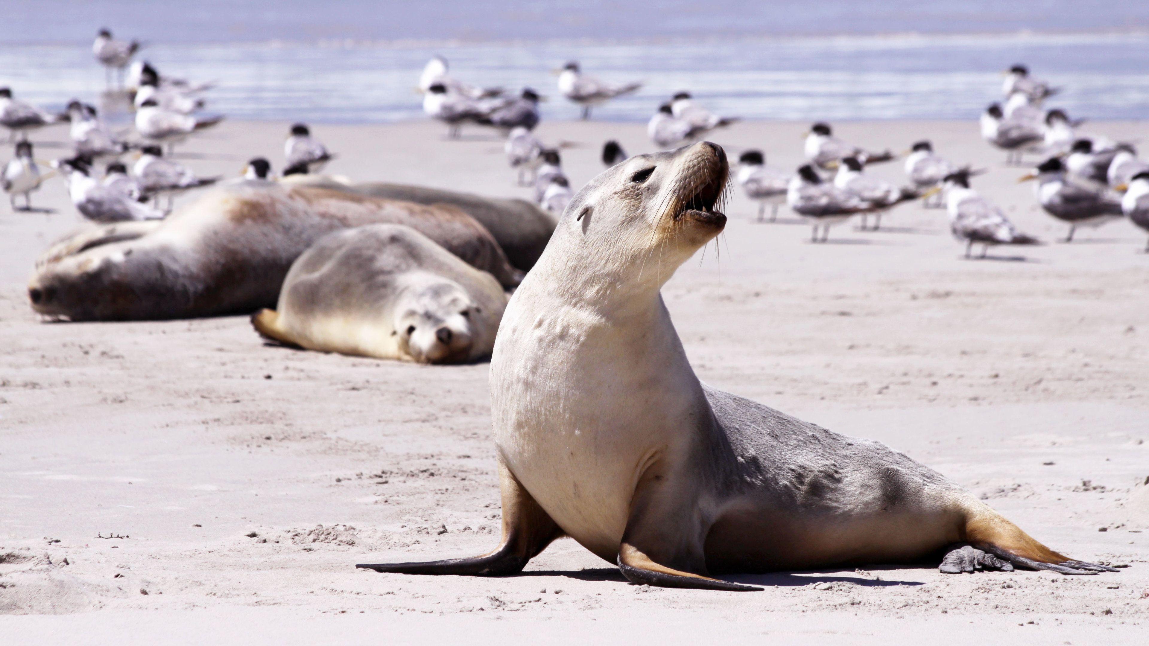Seals on a beach on Kangaroo island