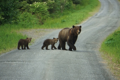 Mother bear and cubs walking across street in Alaska
