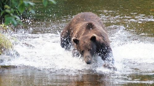 Grizzly bear running through water in Alaska