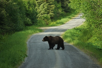 Bear crossing the road in Alaska