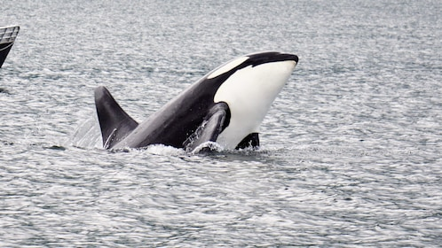 Close up of Orca whale jumping out of water off Alaska