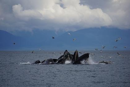 Humpback whales feeding off of Alaska coast
