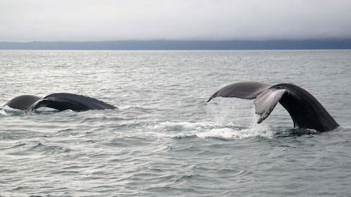 Humpback whale takes off of Alaska