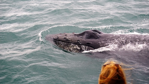 Close up of humpback whale swimming by off of Alaska
