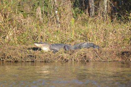 American alligator on the Delta Wildlife Tour