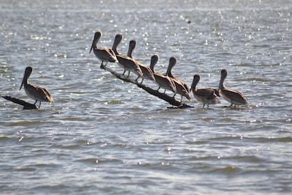 Pelicans on the Delta Wildlife Tour