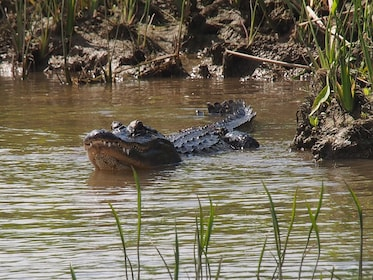 American alligator in the water on the Delta Wildlife Tour