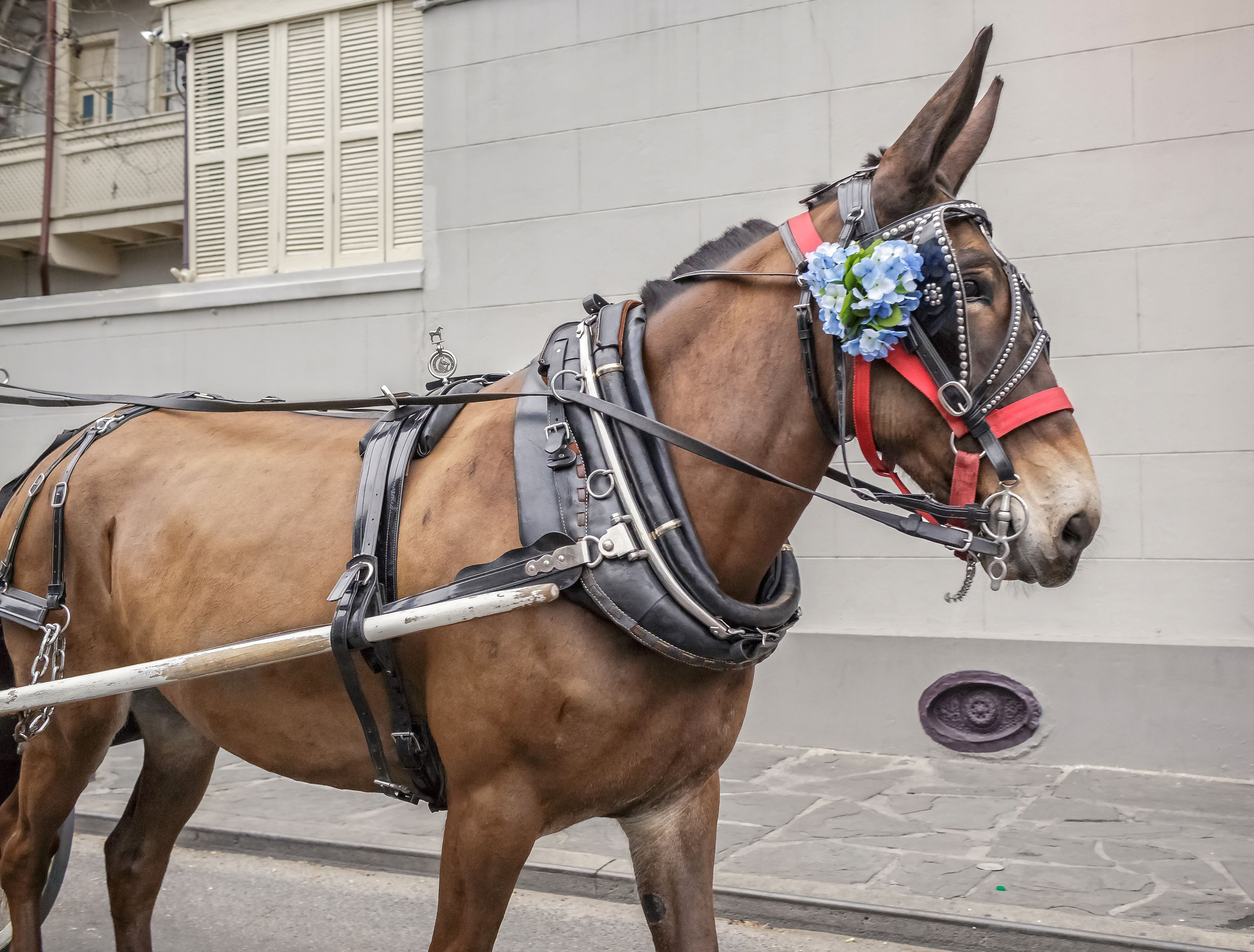 Horse pulling carriage in New Orleans