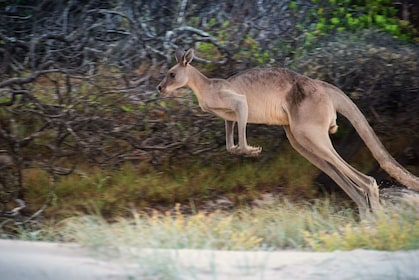 Kangaroo on the Bribie Island Adventure Tour
