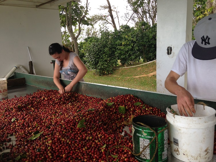 Show item 1 of 8. Coffee berries at a coffee plantation in Puerto Rico