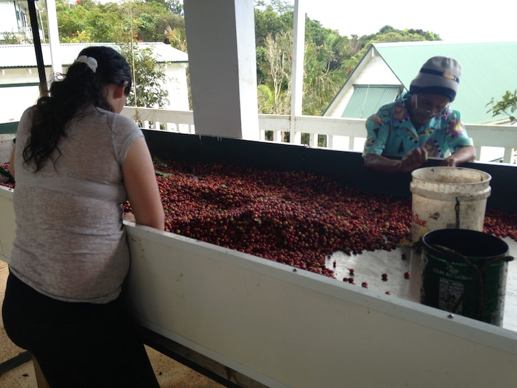 Show item 4 of 8. Women harvesting coffee berries at a plantation in Puerto Rico