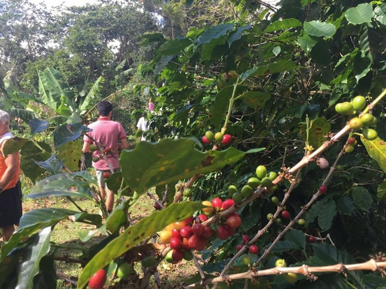 Show item 5 of 8. Coffee Plantation Tour at Hacienda Pomarrosa in Ponce