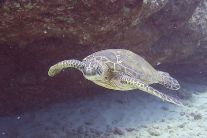Close view of a seaturtle in Kauai
