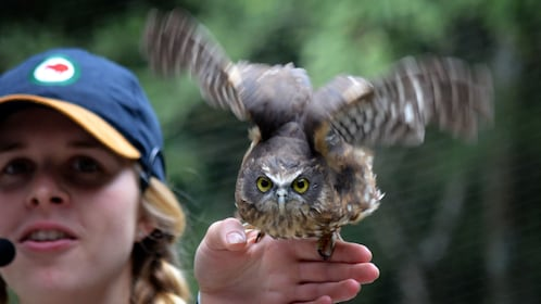 Handler with a small owl taking flight from her hand at Kiwi Birdlife Park in Queenstown