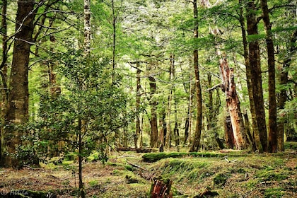 40. Beech Forest, an open forest as the beech trees have a toxin in their seed that kills other trees..jpg