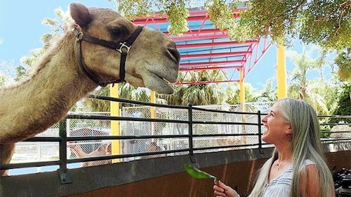 Woman feeding a camel at Zoo Miami