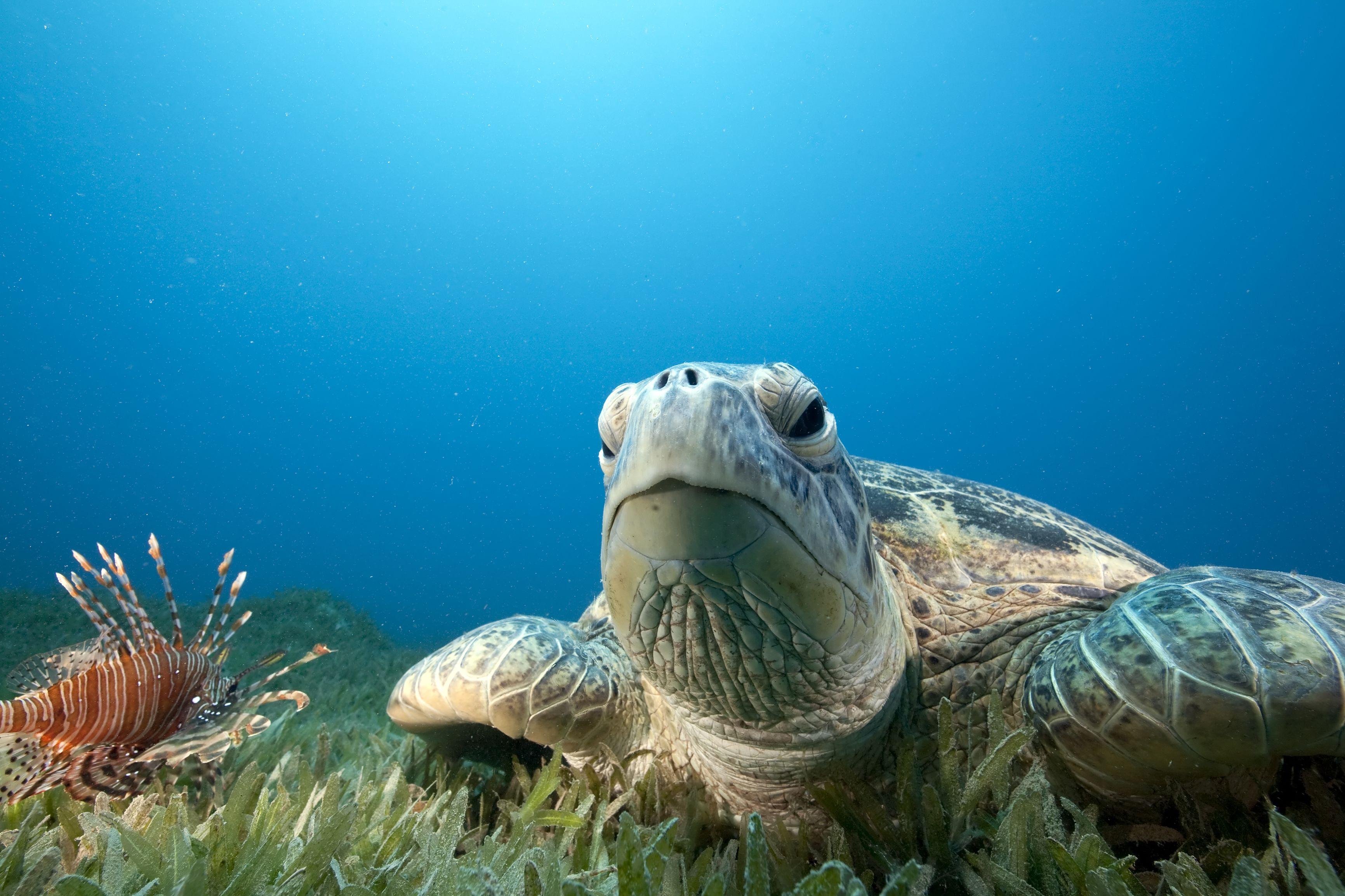Sea turtle resting on sea floor around Big Island