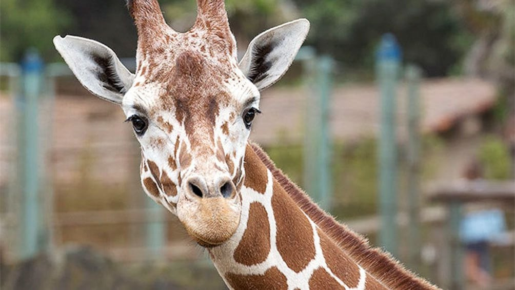 Show item 1 of 5. Giraffe at the San Francisco Zoo