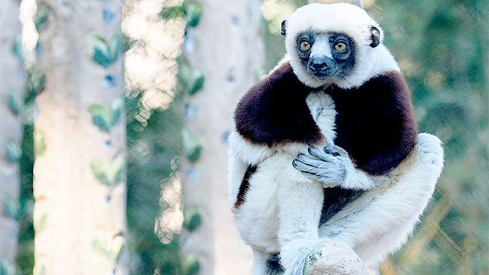 Foto 4 von 5 laden sifaka lemurs at the San Francisco Zoo