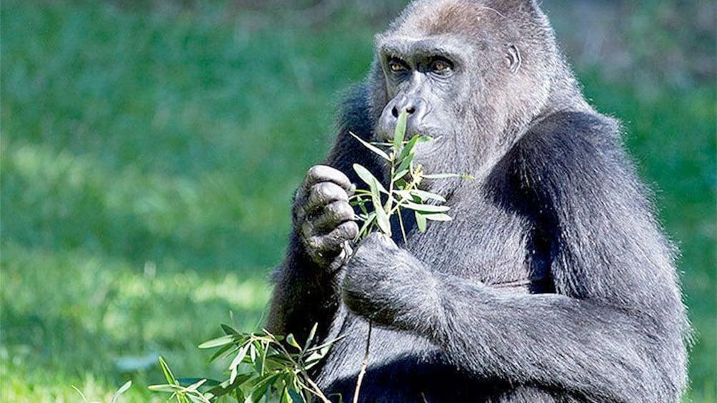 Show item 3 of 5. Gorilla at the San Francisco Zoo