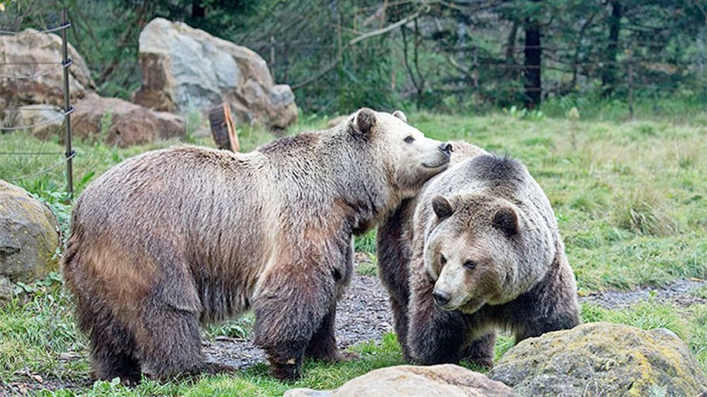 Show item 2 of 5. Bears at the San Francisco Zoo