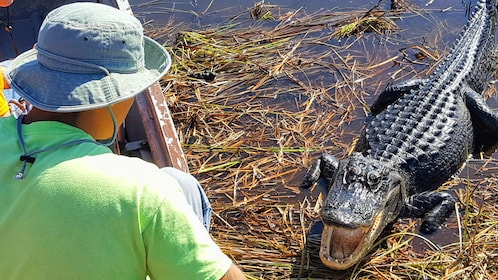 Man looks down at an Alligator