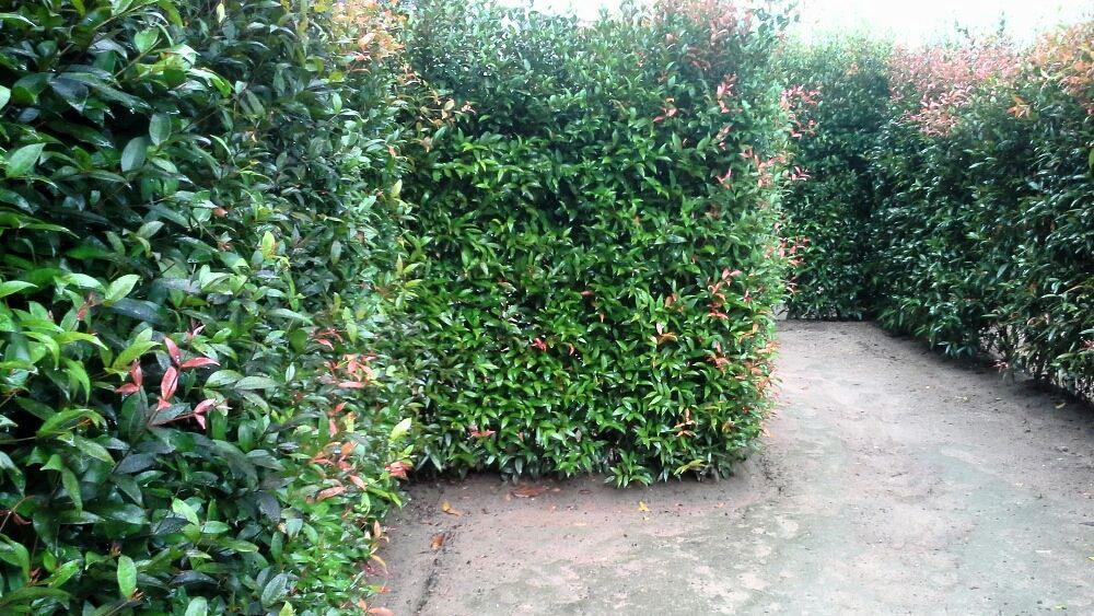 Hedge maze in Phuket