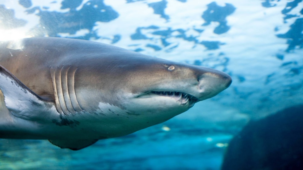Charger l'élément 5 sur 5. Close view of a shark at Two Oceans Aquarium Cape Town, South Africa