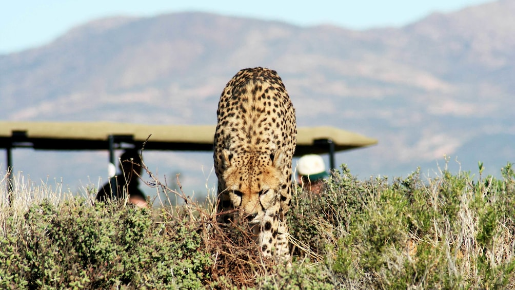 Show item 4 of 4. Wildlife viewing on the Full-Day Safari from Cape Town